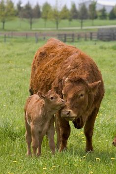 "Cow ~ With Her Young Calf: ""Meadow Magic!"""