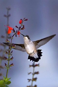 Hummingbird and Red Salvia. For lots more about hummingbirds, visit HummingbirdFoodHQ.com.