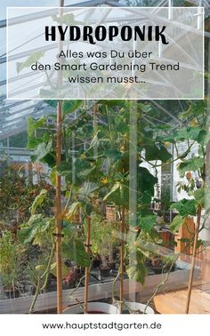 Smart Gardening ist in aller Munde. besonders toll klapppt es mit Hydroponik. Auch toll zum Indoor Gärtnern im WInter.