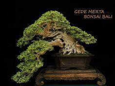 Bonsai 1051