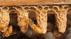 Koniginnen cellen, de Bijen willen die dame zien!