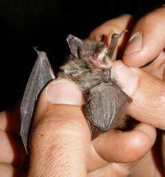 Guatemalan Myotis...endangered