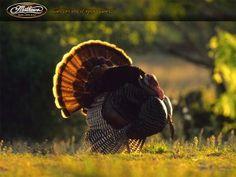 Bowhunting Turkey