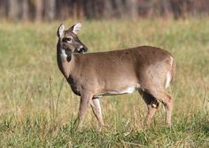 White tailed deer in the Smoky Mountains!