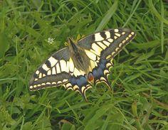 Swallowtail by Lepreskil