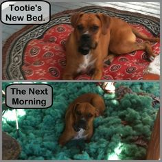 Gracie & Bailey don't get dog beds for this very reason!