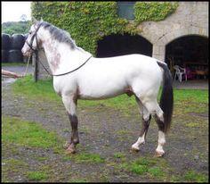 Xhogun Middelsom Knabstrupper stallion