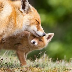The first lesson of red fox,Red Fox is a frequent visitor of protectors. There are traces of red fox in the whole Eurasia, North America, Africa, Oceania and even Antarctica. red fox animals animals# survival skills of red fox pets pets fox Animals And Pets, Funny Animals, Cute Animals, Nature Animals, Animals And Their Babies, Wild Life Animals, Mother And Baby Animals, Animals Kissing, Funny Birds