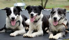 Gorgeous outback dogs!