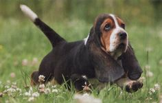 Basset Hounds!-had one when I was a child; his name was Picasso!