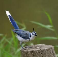 white throated magpie jay - Google Search