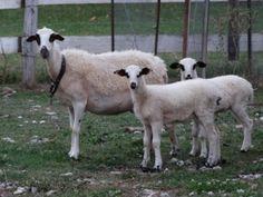 αγροτουριστική Φάρμα, Φάρμα ζώων, Ράντζο πόνυ Lamb, Goats, Animals, Animales, Animaux, Animal, Animais, Baby Sheep, Goat