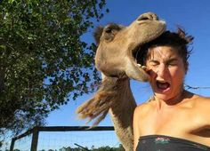 The 'Oops, I Ate Your Face' Camel