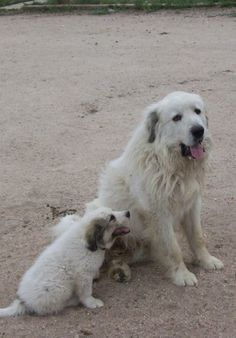 Great Pyrenees Mom and pup