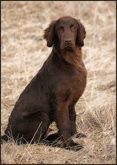 Flat Coated Retriever for Scott. (This could be my Bear- 2001- 2012. He was my Big Red Dog - 125 lbs.))
