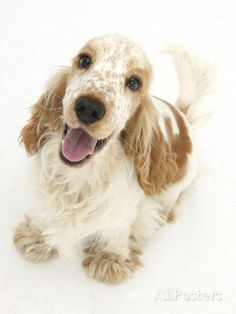 "Determine more information on ""English cocker spaniel"". Look into our site. Perro Cocker Spaniel, Spaniel Dog, Springer Spaniel, Spaniels, Cute Puppies, Cute Dogs, Dogs And Puppies, Doggies, Setter Puppies"