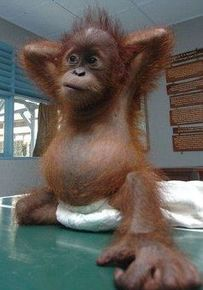 Image have surfaced of a seven-month-old baby orangutan rescued by volunteers in Borneo and nursed back to health at an animal rescue centre in Indonesia. Cute Funny Animals, Cute Baby Animals, Animals And Pets, Primates, Beautiful Creatures, Animals Beautiful, Animal Pictures, Cute Pictures, Game Mode