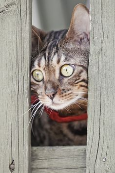 Stunning eyes tabby cat peeking through fence.