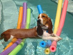 A resourceful basset hound, or at least one who is really basking in the float his owner made for him.