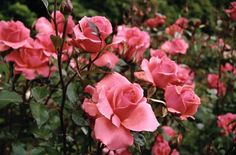 Varieties Of Roses - What Varieties Of Roses Are Available?