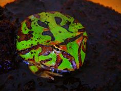 Pacman Frogs   Pictures Wanted for Pacman Frog Care Article Submission-p1090180.jpg