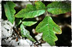 poisonous plants to avoid when camping: learn to recognize these (poison oak pictured)!