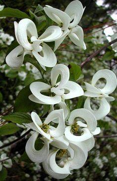 Corniso mágico, uma versão mexicana rara da árvore Corniso americana, com margaridas em forma de lanternas chinesas mágicas.