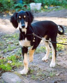 doberman saluki mix dog - Google Search
