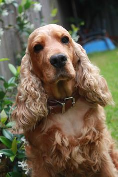 """Click visit site and Check out Best """"English Cocker Spaniel"""" T-shirts. This website is outstanding. Tip: You can search """"your name"""" or """"your favorite shirts"""" at search bar on the top. English Cocker Spaniel, Perro Cocker Spaniel, Golden Cocker Spaniel, Spaniel Puppies For Sale, Dogs And Puppies, Doggies, Sussex Spaniel, Dog Wallpaper, Mundo Animal"""