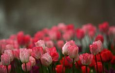 Wallpaper flowers, tulips, background wallpapers flowers – download
