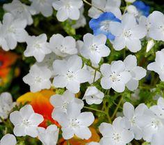 Nemophila menziesii 'Snow White' - x full shade, self-sowing annual, blooms late winter/early spring Meadow Garden, Moon Garden, Side Garden, Woodland Garden, California Wildflowers, California Native Plants, White Flowers, Beautiful Flowers, Fall Plants