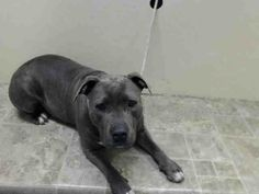 URGENT - Brooklyn Center    GINA - A0996408    FEMALE, GRAY / WHITE, PIT BULL MIX, 2 yrs  STRAY - ONHOLDHERE, HOLD FOR ID Reason STRAY  Intake condition NONE Intake Date 04/12/2014, From NY 11214, DueOut Date 04/20/2014, I came in with Group/Litter #K14-173627.  https://www.facebook.com/photo.php?fbid=786960274650187&set=a.617941078218775.1073741869.152876678058553&type=3&theater