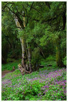 Las Creces, Parque Nacional de Garajonay en La Gomera