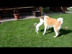 Akita Inu and Jack Russell in Action - http://www.baubaunews.com/bau-blog/akita-inu-and-jack-russell-in-action/ http://img.youtube.com/vi/JC-bHmrXnw4/0.jpg