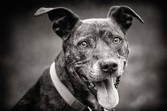 Zara the Staffie Cross, by Jon Hayward Pet Photography