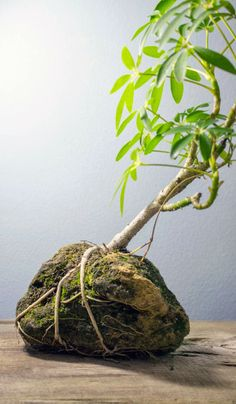 How to plant a banyan tree in a rock!