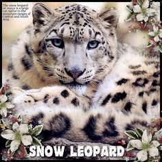 The Snow Leopard Is No Longer Endangered After 45 Years Tiger Wallpaper Iphone, Leopard Wallpaper, Hd Wallpaper, Pet Names, Snow Leopard, Wildlife Photography, Animal Photography, Big Cats, Animals Beautiful