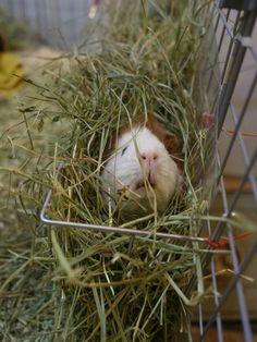 When Guinea Pigs go undercover