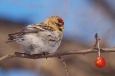 Common Redpoll (von Kirchmeier)