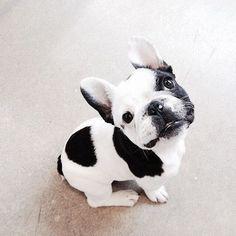 French bulldog #cutedogs #frenchbulldog