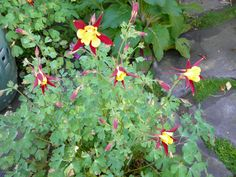 Royal Red and Wispy Yellow Columbine in my backyard. These babies have lasted over three years and keep coming back strong each year. Very Asian color scheme.