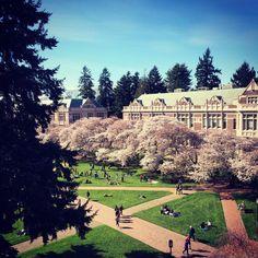Spring cherry blossoms in University of Washington Quad