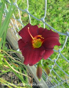 Burgundy daylily that was growing at the corner of Michigan and Trumbull--the site of old Tiger Stadium--in 2015