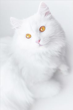 Cloud - Snow - Cotton - Ghost - Angel -   Fluff, The names that suit a beauty like this go on and on. The beautiful gold eyes against the Snow White fur complete an elegant lady.