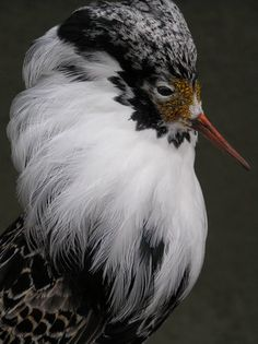Philomachus pugnax  The Ruff is a medium-sized wading bird that breeds in marshes and wet meadows across northern Eurasia.