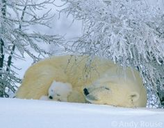 """""""Silent Slumbers."""" Polar bears. Photo by Andy Rouse."""
