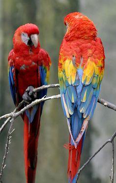 Resultados da Pesquisa de imagens do Google para http://www.ondatop.com.br/wp-content/uploads/2012/05/Ara-macao.jpg