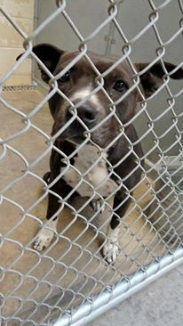 CODE RED/EUTH LISTED CAN BE PTS @ ANY TIME, Ebony's Pledge Total: $67 Cage 53 - EBONY Black/White Pit; Female 2 Years IMPOUND 11/20/13 | DUE OUT 11/27/13 @ 7 AM Roswell Animal Control 705 E. McGaffey; Roswell, NM 575-624-6722 https://www.facebook.com/photo.php?fbid=226419717526033&set=a.211174685717203.1073741846.176246809209991&type=3&theater https://www.facebook.com/media/set/?set=a.211174685717203.1073741846.176246809209991&type=3