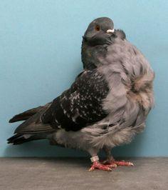 Chinese Owl CH YH711 John de Carlo Jr © National Pigeon Association website