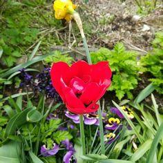 Rote Tulpen als der Klassiker  #Garten #Gartenliebe #tulpen #tulpe #tulpenliebe #tulips #tulip #blackandwhitephotography #tulpenzeit #tulipa #bloom #blooms #Gartenglück #Gartenzeit #Gartenträume #Gärten #Blume #Blumen #Blumenliebe #Blumenfotografie #blumenzauber #nature  #naturelover  #naturephotography  #flowers #flower #naturesbeauty  #naturelove  #PictureoftheDay  #photooftheday